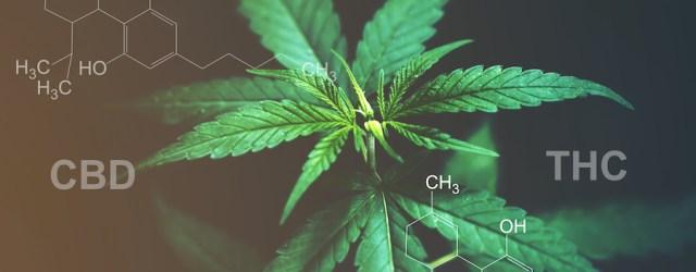 Cannabis THC CBD