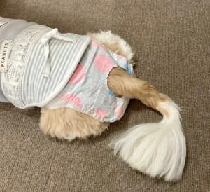 前庭疾患で痙攣発作のような症状で失禁するので犬のおむつをするぱっちゃん