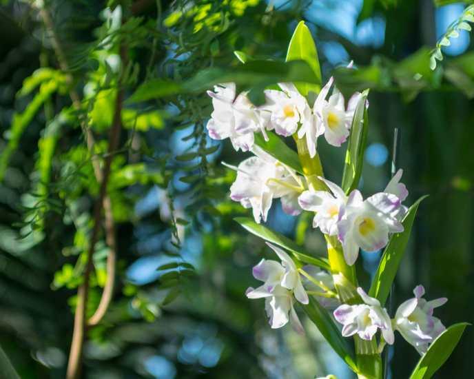 Die Orchideenblüte in der Biosphäre ist zeitlich begrenzt.