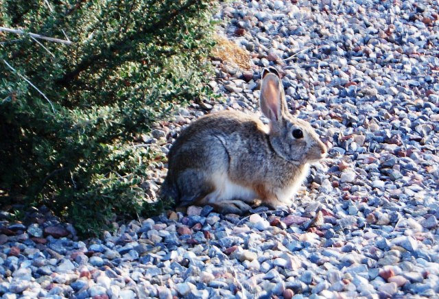 Chicklet loves rabbits. This one posed for us.