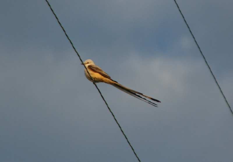 Scissortail Flycatcher on wire--click photo to enlarge
