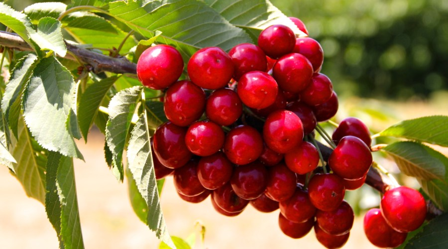 Cherries At Young