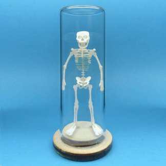 Tiny Human miniature skeleton model in glass display dome by Tinysaur.us
