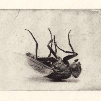 Sleeping Fly Photogravure 4 x 6