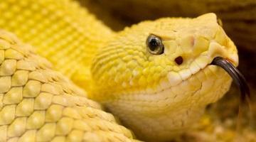 gyvatė dvi varpos