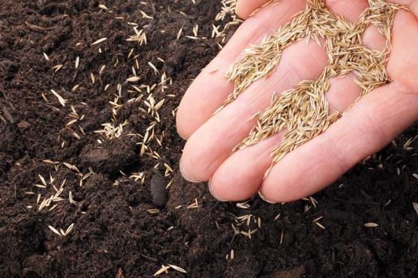 semis de graines d'herbe pour le parcours des poules