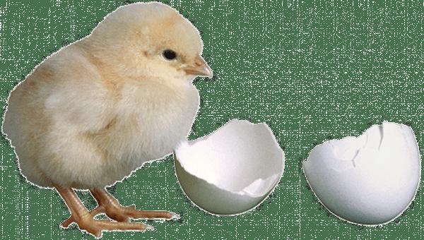 Levage des poussins bio poulailler bio for Oeuf de poule mou