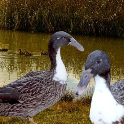 1- canard à bec recourbé-Hollandais du nord