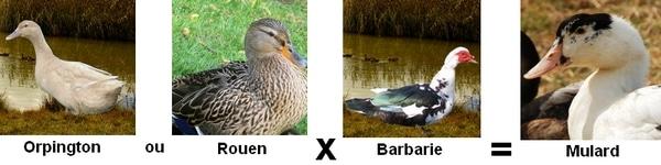 Croisement des canards pour mulard