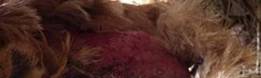 Grave blessure d'une poule provoquée par le piquage