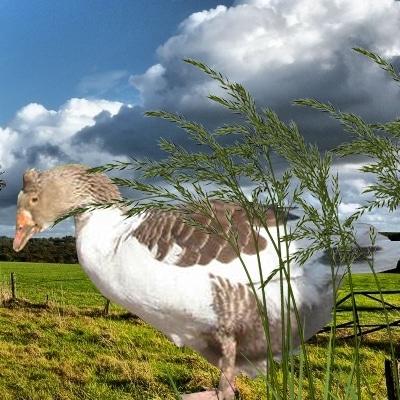 Oie huppée de Castres
