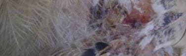 Premiers symptomes du picage sur les poules