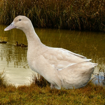 canard orpington