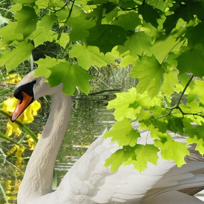cygne blanc commun