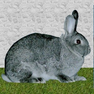 lapin grand chinchilla