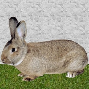 lapin normand