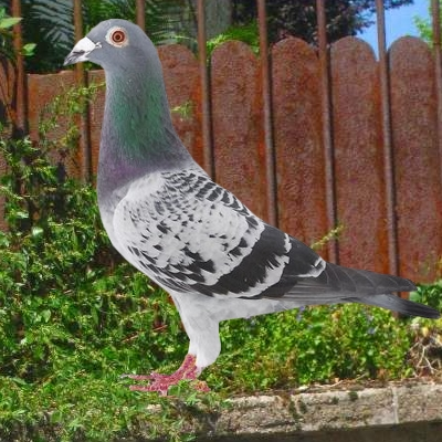 pigeon montauban