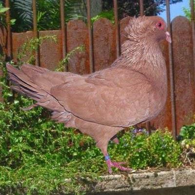 pigeon sottobanca