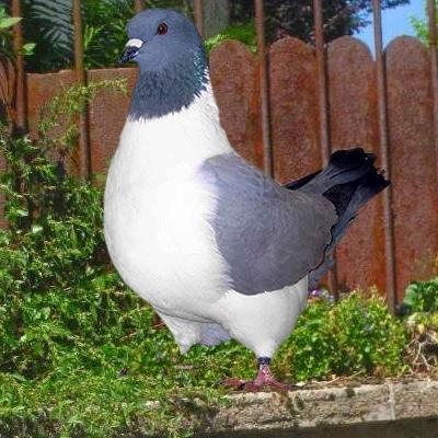 pigeon strasser