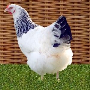 poule bourbonnaise