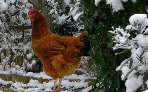 poule pondeuse froid