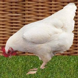 poule gâtinaise