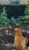 poule picorant les déchets dans un potager