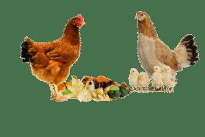 poules picorant des déchets de cuisine