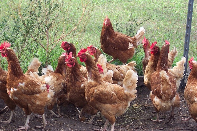 poulets de chair dans un élevage bio