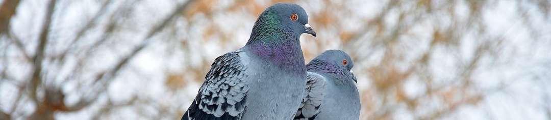 Faire des perchoirs pour pigeons poulailler bio - Faire fuir les pigeons ...
