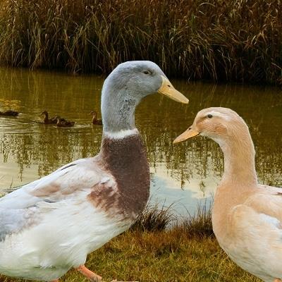 1- canard de Saxe