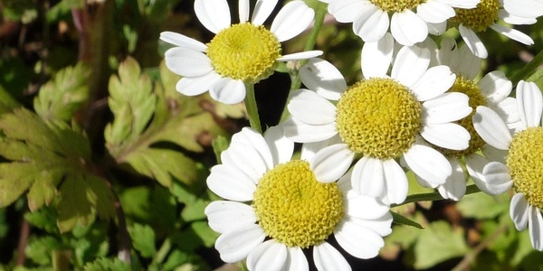 pyrèthre de dalmatie fleurs