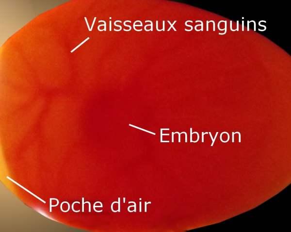 Oeufs fécondés et embryon vu au mire oeufs