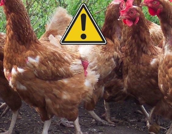 poule soie perd ses plumes