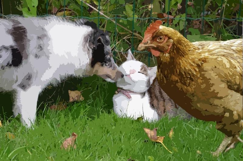 chien, chat et poule ensemble.