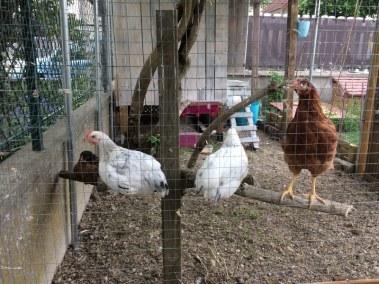 Catherine - poules dans un poulailler fait dans une citerne en plastique
