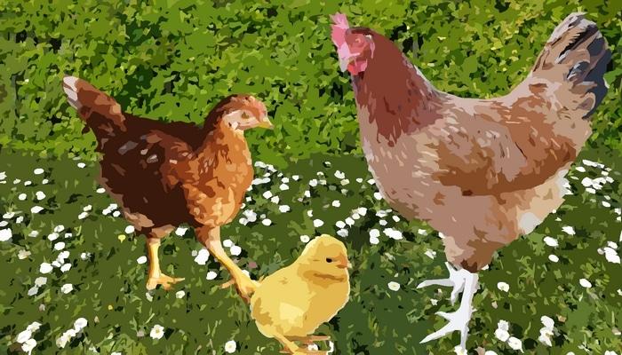 faut il acheter des poussin ou des poules adultes poulailler bio