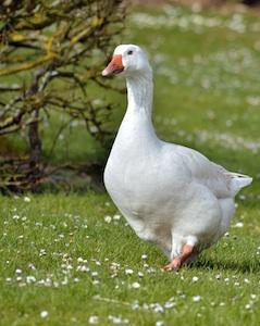 Oie blanche ( Poitou )