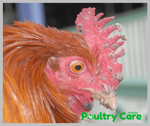 15 Most Common Chicken Diseases, Symptoms and Treatment