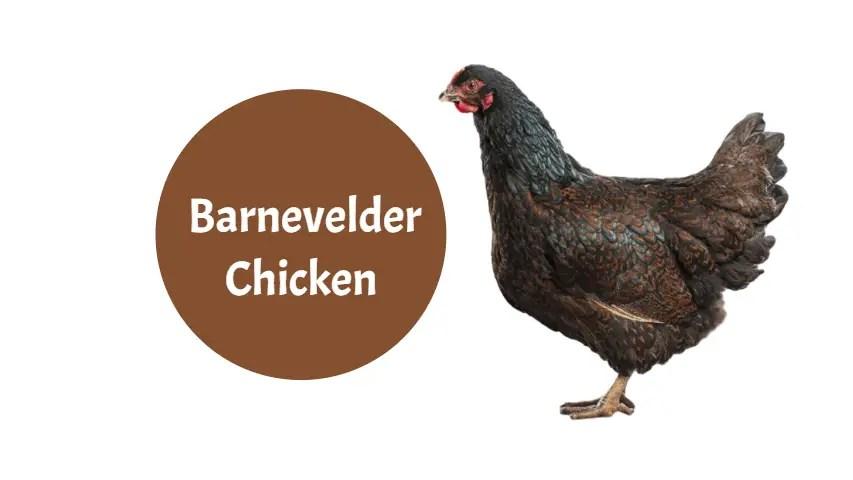 Barnevelder-Chicken-breeds