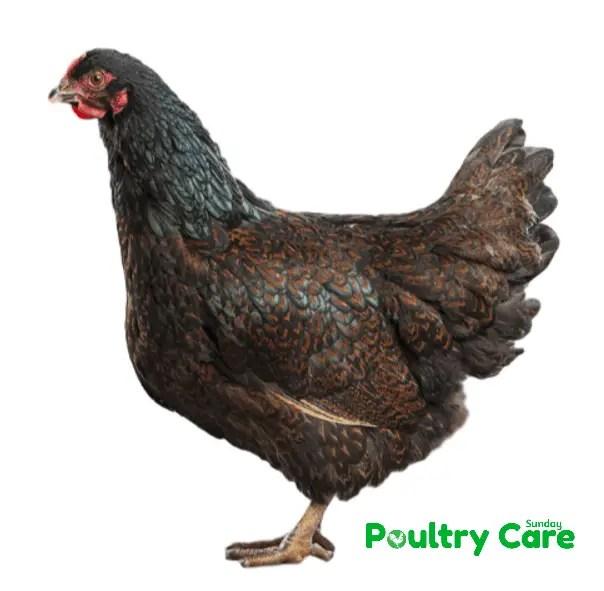 Barnevelder_Chicken