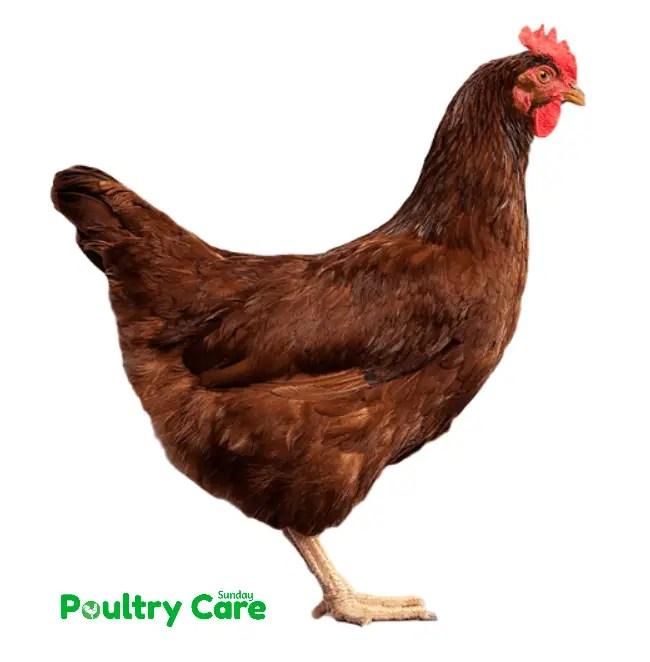 Rhode_Island_Red_Chicken