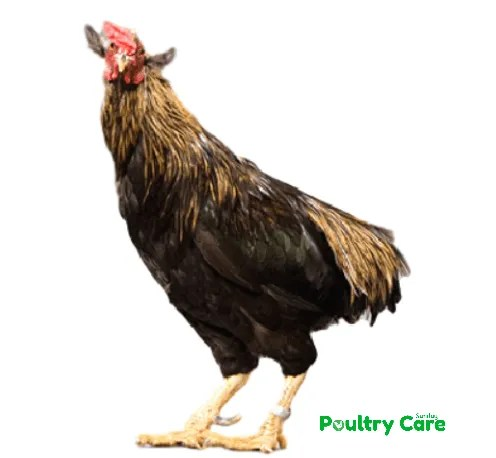 Araucana-Chicken