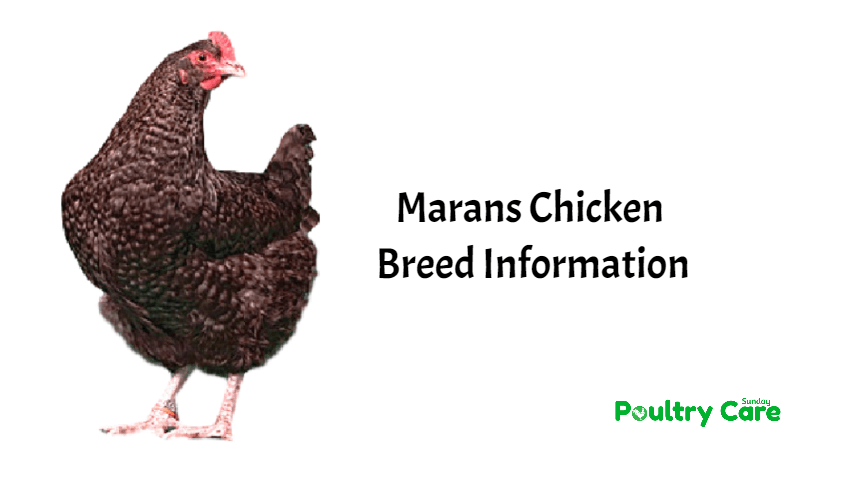 Marans Chicken Breed Information Poultry Care Sunday
