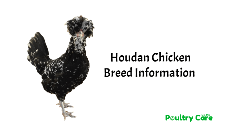 Houdan-Chicken-Breed