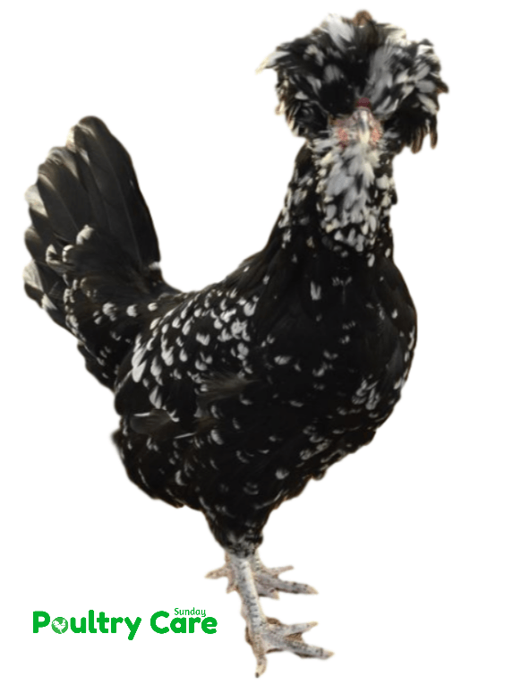 Houdan Chicken