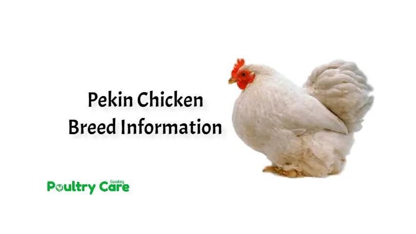 Pekin Chicken Breed