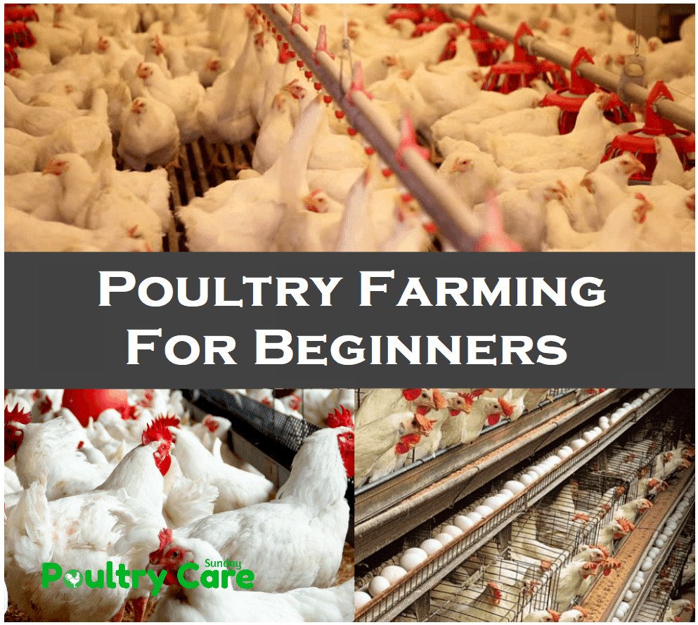 Poultry Farming For Beginners