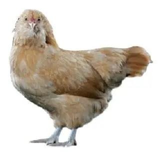 Ameraucana Chicken.jpg