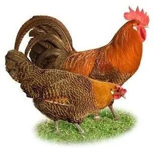 Braekel Chicken